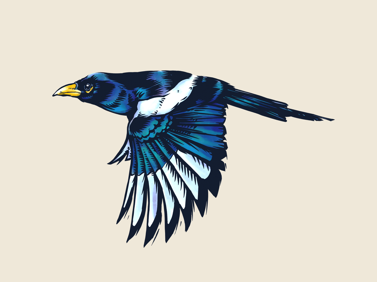 Yellow-billed Magpie ink sketch done with Procreate.