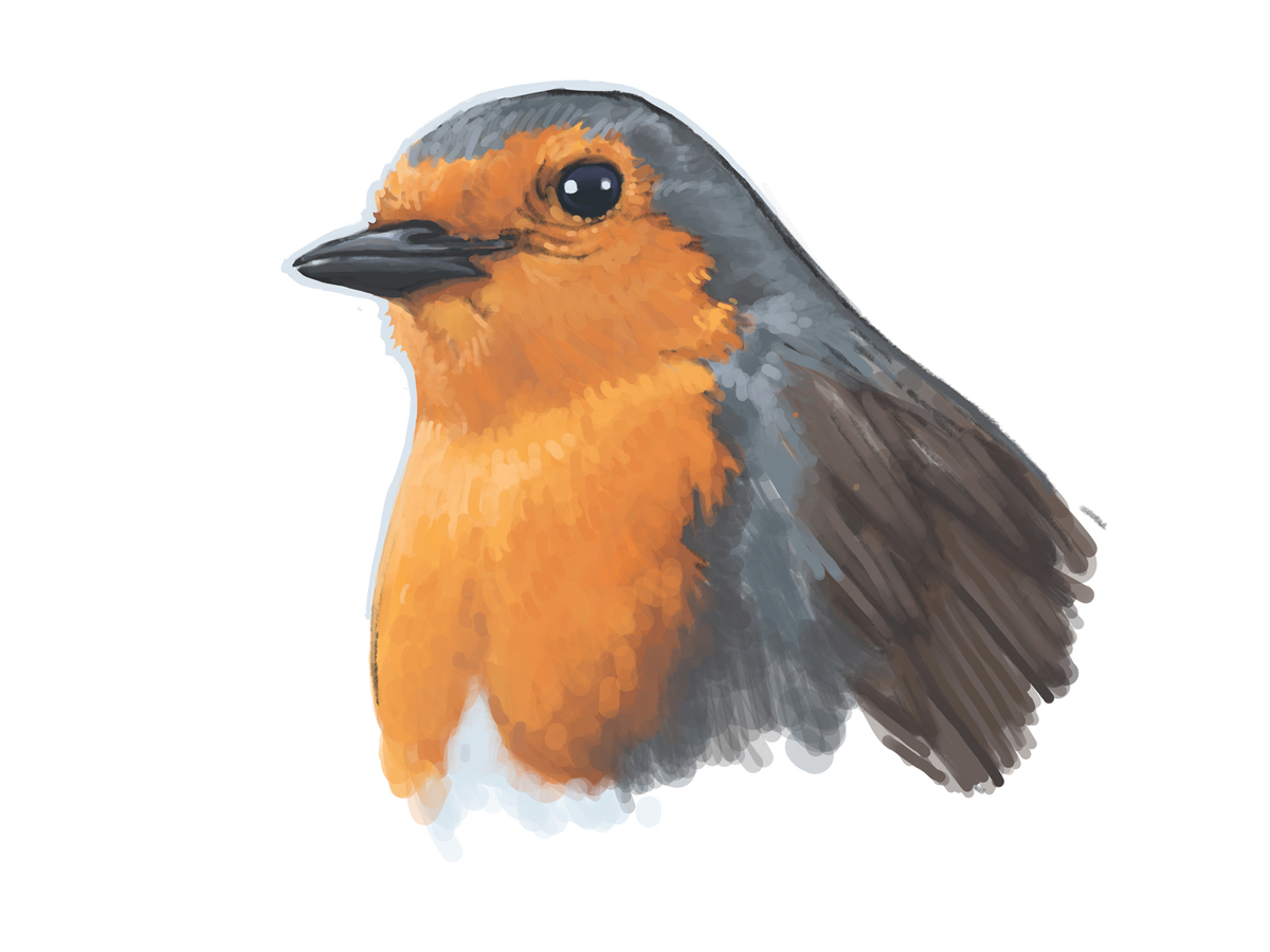 Quick digital sketch of a Robin bird made on Procreate with an iPad pro.
